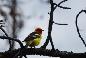 Western Yellow Tanager
